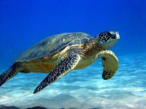 Sea_Turtle_506f386b36187